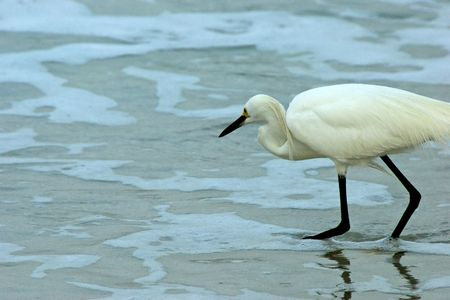 seemingly: A Great White Heron seemingly crouching as it walking into the water on an overcast morning. Stock Photo