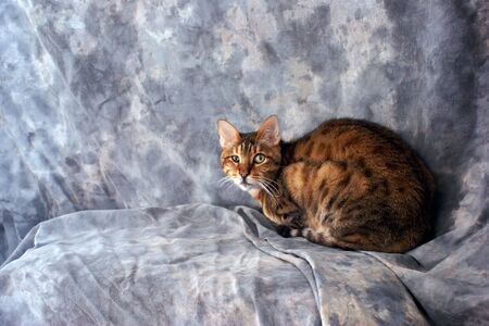 a beautiful tiger striped bengal cat is crouched down looking at viewer against a grey background photo