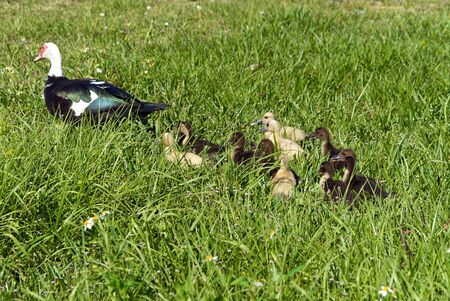 Muscovy Duck Family being led by adult female bird, the ducklings follow close behind photo