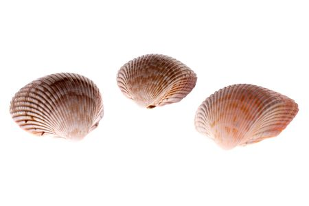 Three examples of Van Hynings Cockle shells showing fan shape on white lit from underneath to bring out detail and glow, found in florida Reklamní fotografie