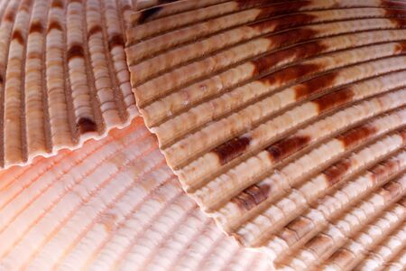 close up detail of Van Hynings Cockle shells on white lit from underneath to bring out detail and glow, found in florida