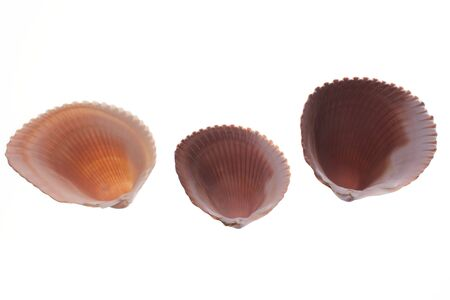 Three examples of Van Hynings Cockle shells showing the underside on white lit from underneath to bring out detail and glow, found in florida Reklamní fotografie