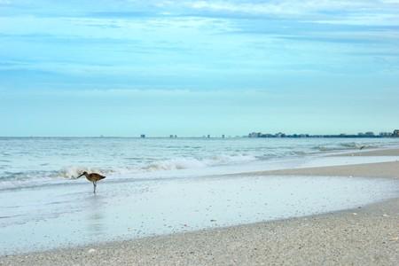 a sandpiper bird is walking along the gulf of mexico beach in Bonita springs florida,  on a cloudy morning Stock Photo - 7317348