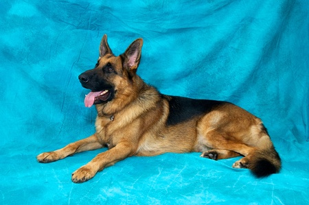 A young german shepherd dog in studio against blue backdrop laying down facing left. 版權商用圖片