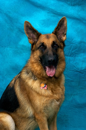A young german shepherd dog in studio against blue backdrop looking directly at viewer with mouth open, panting. Stock Photo - 11818498