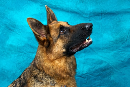 A young german shepherd dog in studio against blue backdrop looking up and right. Stock Photo - 11818495