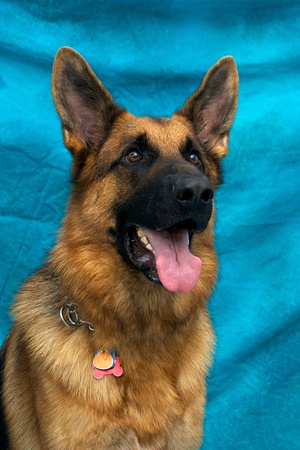 A young german shepherd dog in studio against blue backdrop. Stock Photo - 11818497