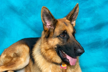 A young german shepherd dog in studio against blue backdrop, laying own and panting. photo