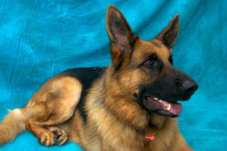 A young german shepherd dog in studio against blue backdrop, laying down and looking alert. Stock Photo - 11818506
