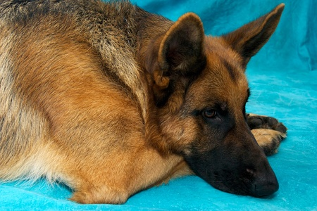A young german shepherd dog in studio against blue backdrop, laying down with head resting on paws.. photo