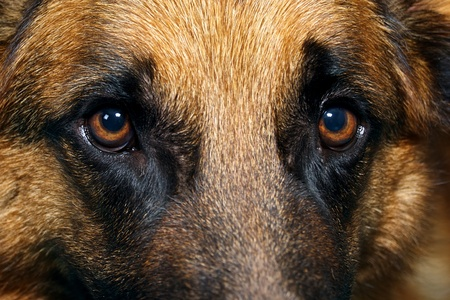 police dog: Close up of a young German Shepherd Stock Photo
