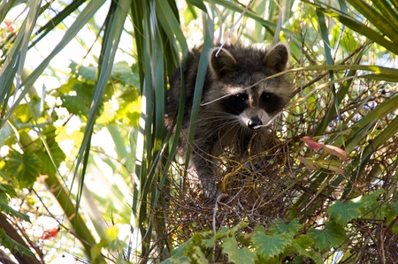 A young raccoon is in a tree looking down at viewer. Фото со стока