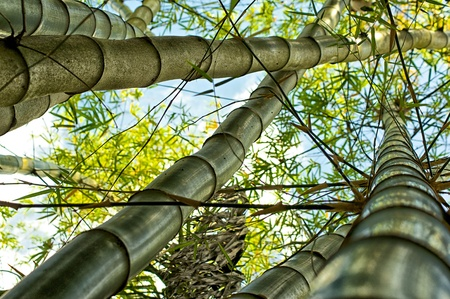 foreshortening: Looking up towards the tops of a patch of bamboo trees growing in the middle of a tropical jungle