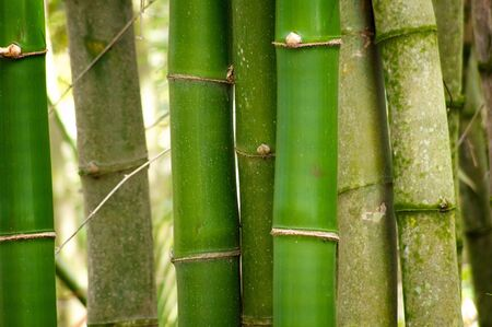 A group of  young green bamboo trees stand vertically and fill the frame