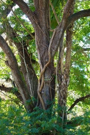 Vertical shot of a large oak tree with a ficus type strangler vine growing up its trunk  Banco de Imagens