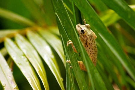 clinging: Close up of a cuban tree frog clinging onto palm tree fronds  Stock Photo