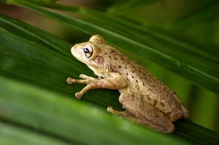 Close up of a cuban tree frog clinging onto palm tree fronds  Stock Photo
