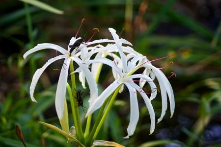 Baby lubber sprinkhanen klimmen op en neer op een grote witte wilde bloemen.