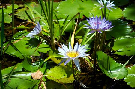 blue water lilies or lotus flowers surrounded by lily pads         photo