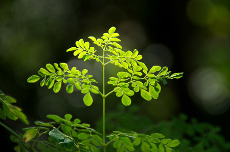 Looking up at the leaves at the top of a young moringa tree, used for alternative medicine
