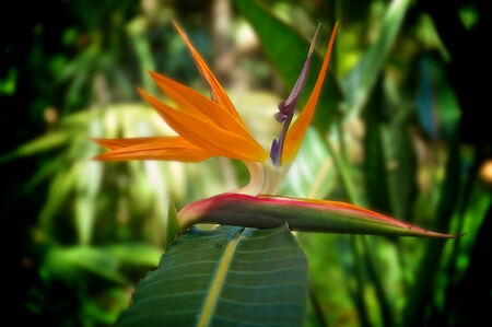 bloom bird of paradise: Side view of the  beautiful bird of paradise flower in bloom looking down the length of the leaf