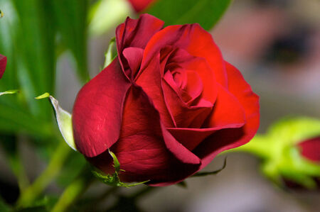 A single red rose up close with leaves in the background, partially opened