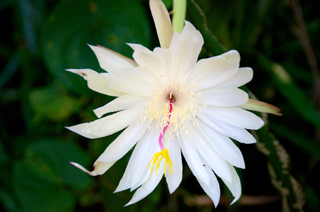 Night blooming cereus cactus in bloom showing large white flower  Stok Fotoğraf
