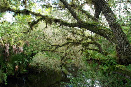 swampy: Looking across an overgrown swampy river in tropical south florida, oak trees are covered with resurrection ferns