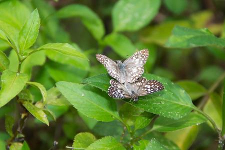 Twee witte en bruine vlinders zijn neergestreken op een groen blad en zijn paring Stockfoto