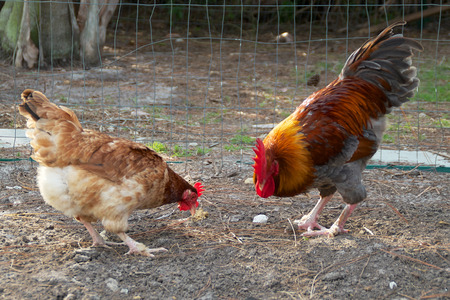 penned: Golden headed maran rooster and hen feeding in penned in section of farm