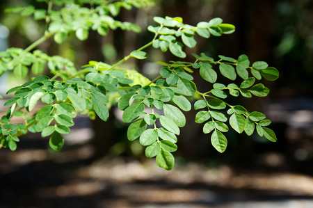 eye level view of the leaves at the top of a young moringa tree, used for alternative medicine   photo