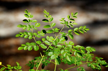 Looking down at the leaves at the top of a young moringa tree, used for alternative medicine