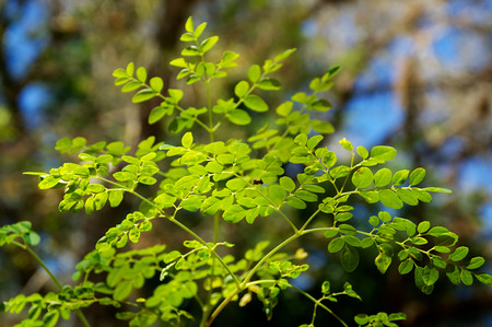 moringa: close up of the leaves at the top of a young moringa tree, used for alternative medicine