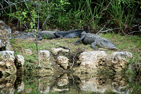 Two large Black Alligators are resting on the riverbank in the Everglades of Florida  photo