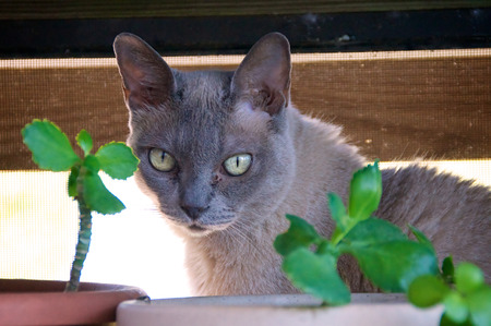 dilated pupils: A Grey charcoal colored purebred Burmese cat is looking towards the camera from behind potted plants  Stock Photo