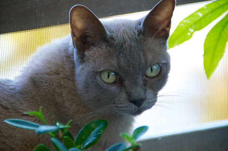 dilated pupils: A Grey charcoal colored purebred Burmese cat is looking at the viewer surrounded by plants  Stock Photo