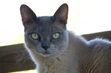 dilated pupils: A Grey charcoal colored purebred Burmese cat is looking wide eyed at the camera