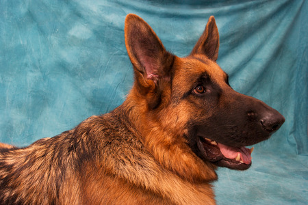 Studio shot of a German Shepard dog against a mottled blue background, its mouth is open. Reklamní fotografie