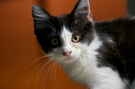 wide eyed: A young black and white kitten looks surprised as it looks directly at viewer Stock Photo