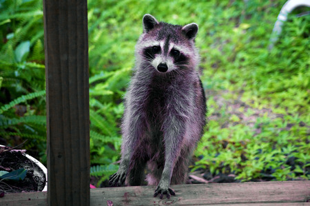 A curious raccoon is standing up looking at viewer