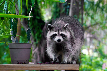 A large raccoon is standing on a plank beside a plant looking at viewer