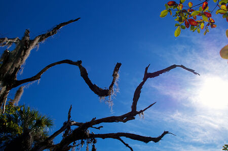 Looking up at an old dead oak tree covered with spanish moss against a blue sky with sun. photo