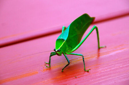 looking at viewer: A large green katydid grasshopper on red table looking at viewer.
