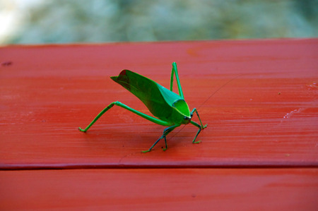A large green katydid grasshopper on red table.