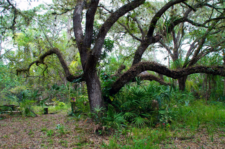 A large oak tree in winter surrounded by tropical plants and trees.