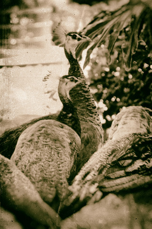 antiqued: Image of a flock of peahens, finished in a antiqued wet plate technique.