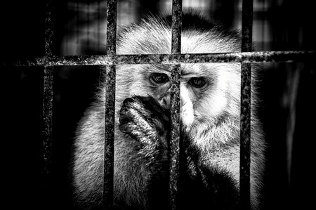 Black and white image of a monkey in a cage sucking its thumb looking at viewer.  Stock Photo
