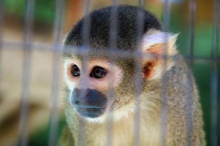 Close up of a cute little spider monkeys head in a cage, looking away.