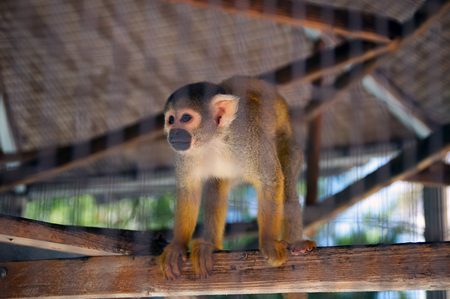 A pet spider monkey is standing on a plank in cage looking off to the side.