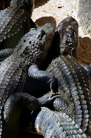 snuggling: Looking down on two american alligators appearing to be snuggling, laying in the sunshine with other gators. Stock Photo